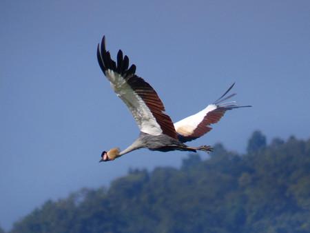 カンムリヅル(Crowned Crane) P1030397_R