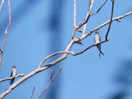 カンムリアマツバメ(Crested Treeswift) P1050875_Rs