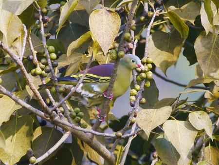 ハシブトアオバト(♂)(Thick-billed Pigeon)   P1240634_Rs