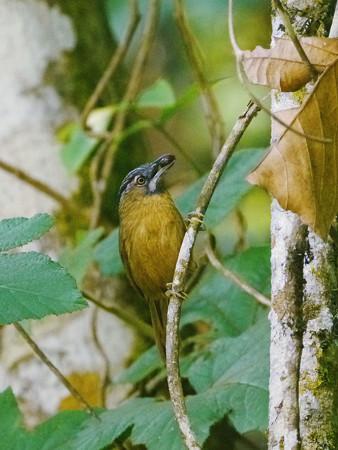 ハイノドモリチメドリ(Grey-throated Babbler) P1300990_R2s