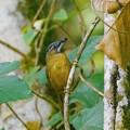 Photos: ハイノドモリチメドリ(Grey-throated Babbler) P1300990_R2s