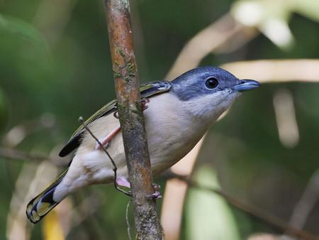 アカバネモズチメドリ♀(White-browed Shrike-babbler) P1020561_R2s(4000x3000)