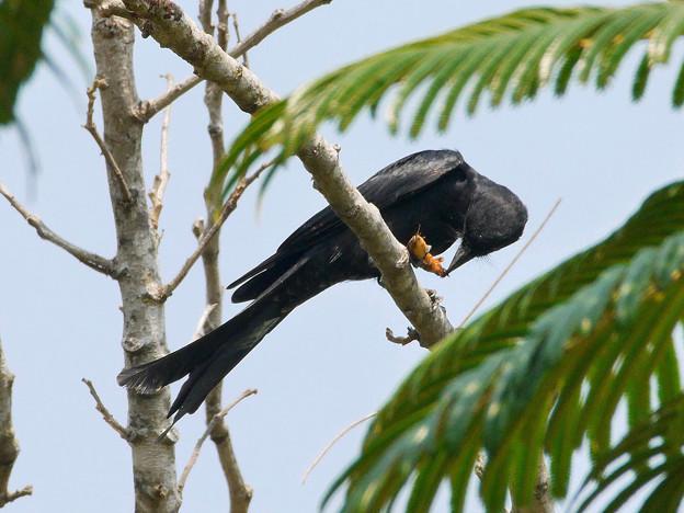 お食事中のオウチュウ(Black Drongo) P1070408_R2s