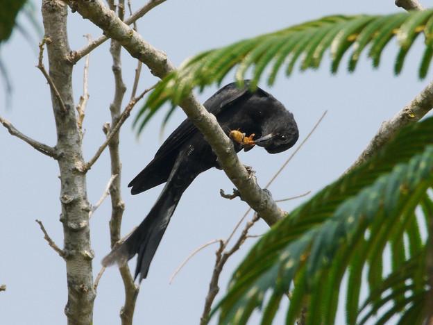 お食事中のオウチュウ(Black Drongo) P1070419_R2s