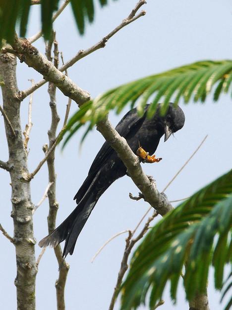 お食事中のオウチュウ(Black Drongo) P1070426_R2s