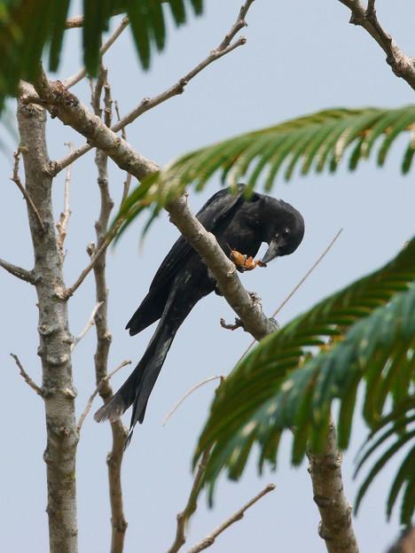お食事中のオウチュウ(Black Drongo) P1070429_R2s