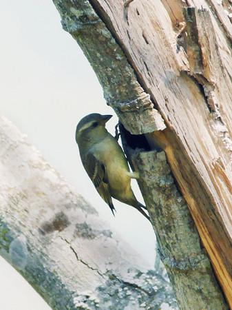 キツツキみたいな野鳥 P1080094_Rs