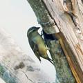 Photos: キツツキみたいな野鳥 P1080094_Rs