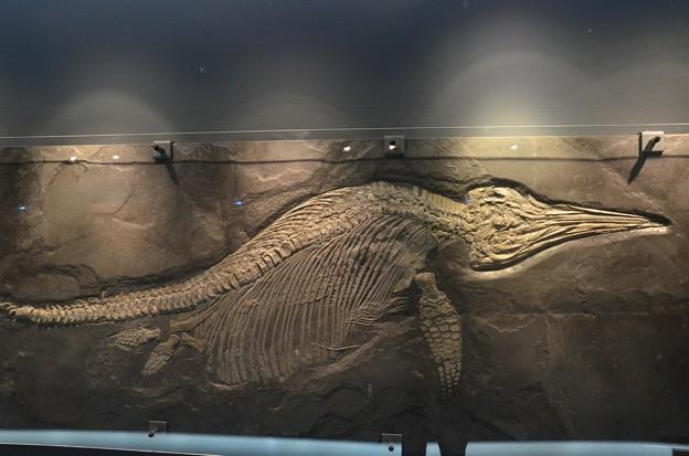 魚竜(実物化石)