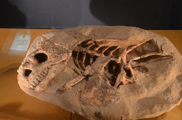 パレイアサウルスの一種(実物化石)