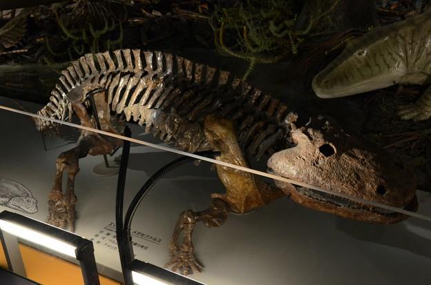エリオプス メガセファルス(実物化石)