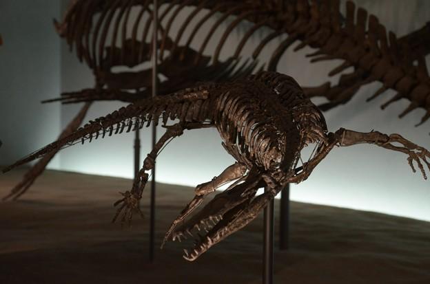 ノトサウルスの一種(実物化石)2