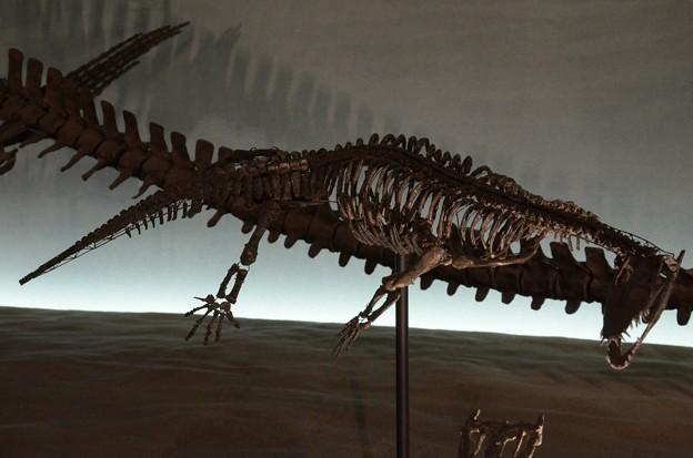 ノトサウルスの一種(実物化石)