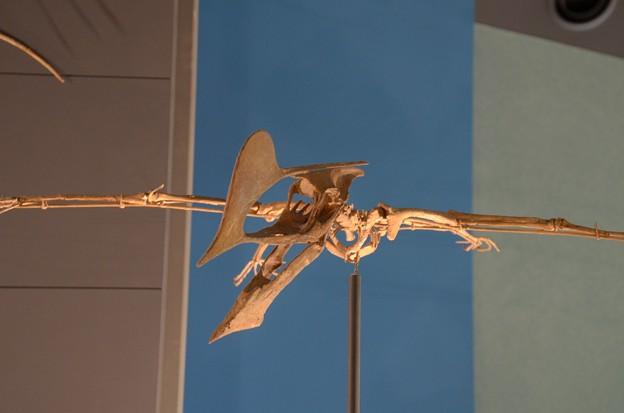 タペジャラ ヴェルンホフェリ(実物化石)