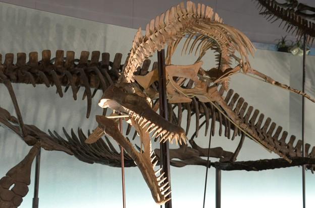 プリオサウルスの一種(実物化石)2