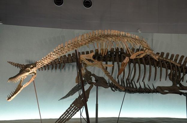 プリオサウルスの一種(実物化石)
