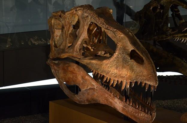カルカロドントサウルス・サハリクス(実物化石)