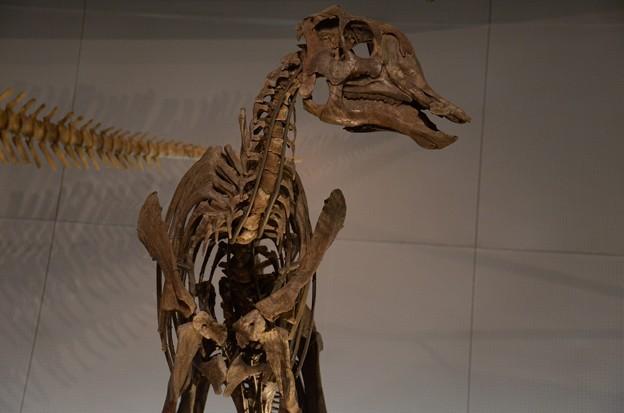 ヒパクロサウルス・ステビンゲリ(実物化石)2