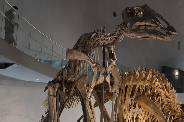 ピパクロサウルス・ステンビンゲリ(実物化石)