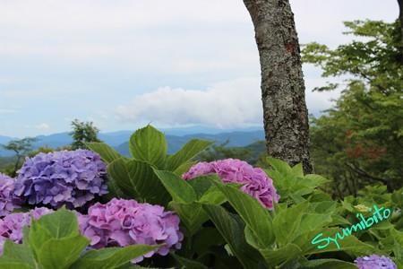 紫陽花と蔵王連峰