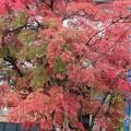 Photos: 蔵王温泉街にて ナナカマド