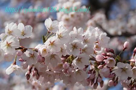 2013年4月20日 桜開花