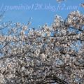 Photos: 桜 満開