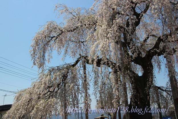 ふりそで桜