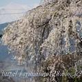 Photos: ふりそで桜 2