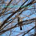 Photos: 野鳥(ツグミ)