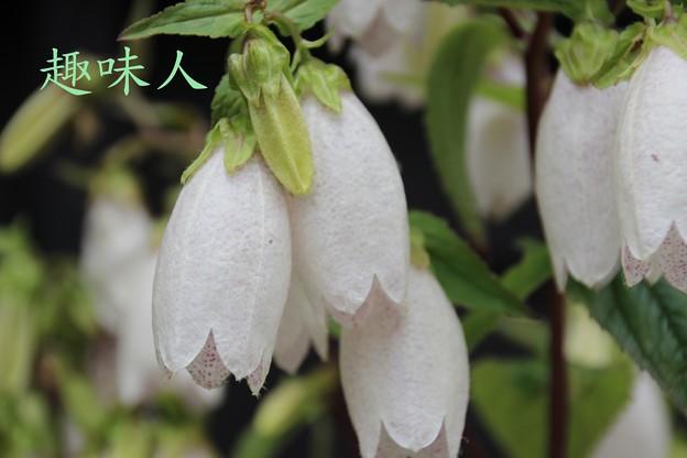 蔵王温泉にて(ホタルブクロ)