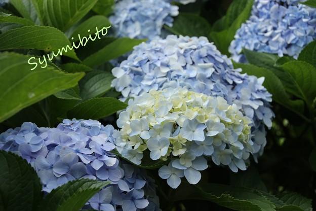 紫陽花 2013.8.14
