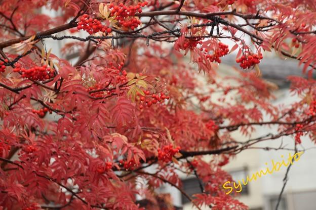 蔵王温泉街のナナカマド 2013.10.26