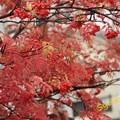 Photos: 蔵王温泉街のナナカマド 2013.10.26