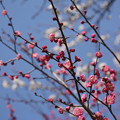 写真: 『春の競演』 ~熱田神宮 梅×桜~