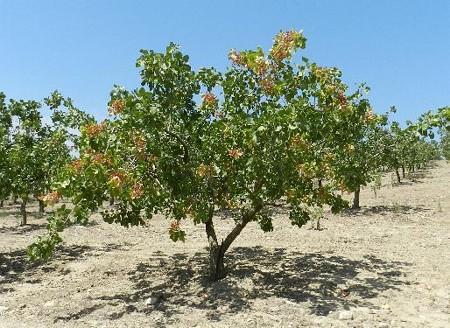 これが、ピスタッキオの木の全景です。残念ながら収穫の様子を見ることは出来ませんでしたが、木の幹を機械で揺らして、全ての実を地面に落とすやり方をするそうです。