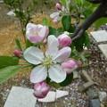 リンゴ(津軽)2