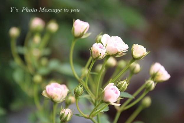 世界で一番小さな薔薇   リトルウッズ