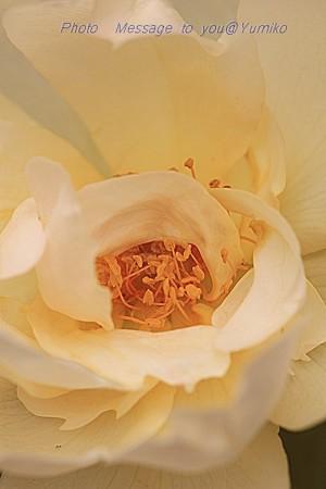 薔薇 花芯