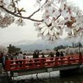 高田城跡公園の桜
