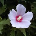 梅雨と夏の花