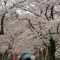 悠久山公園と福島江の桜
