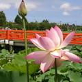 蓮の花(高田城跡公園)