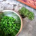 バジル初間引き収穫
