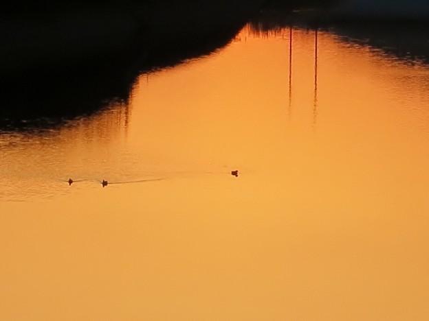 川面の水鳥