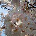 写真: 桜まだええ感じやな