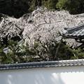 塀越しのしだれ桜