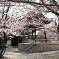 教信寺の鐘楼と桜(兵庫県加古川市)