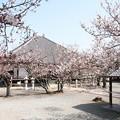 教信寺の本堂と桜の木