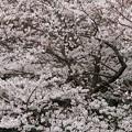 剛ノ池付近の桜